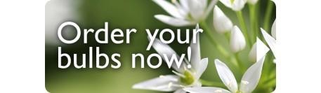 Wild Garlic/Ramsons (Allium ursinum)