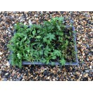 Hay Meadow 40 Plug Plants Mix