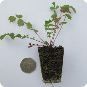 Great Burnet (Sanguisorba officinalis) plug plants