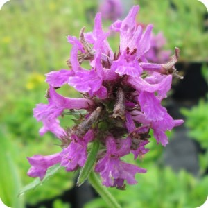 Betony  (Betonica officinalis) plugs plants