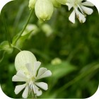 Bladder Campion (Silene vulgaris) plug plants