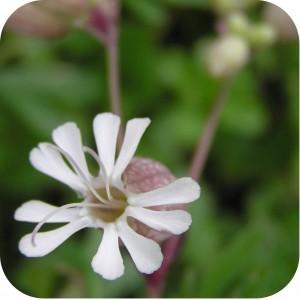 Bladder Campion (Silene vulgaris) plug plants