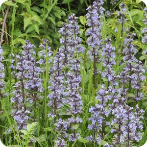 Bugle (Ajuga reptans) plug plants