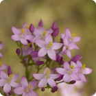Common Centaury (Centaurium erythraea) plug plants