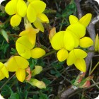 Bird's-foot Trefoil	(Lotus corniculatus) plug plants