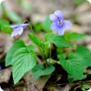 Common Dog-violet (Viola riviniana) plug plants