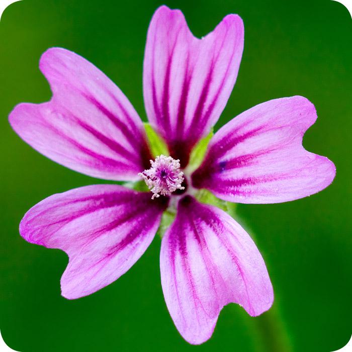 Common mallow malva sylvestris plug plants for Plants de fleurs