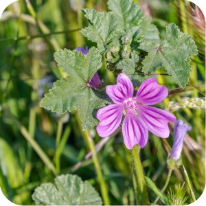Common Mallow	(Malva sylvestris) plug plants