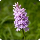 Common Spotted-orchid (Dactylorhiza fuchsii) 7cm pots