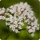 Common Valerian (Valeriana officinalis) plug plants