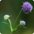 Devil's-bit Scabious (Succisa pratensis) plug plants