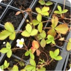 Wild Strawberry (Fragaria vesca) plug plants