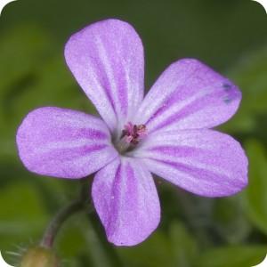 Herb-Robert(Geranium robertianum) plug plants