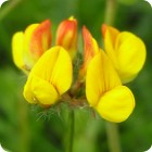 Greater Bird's-foot Trefoil (Lotus pedunculatus) plug plants