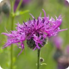 Greater Knapweed (Centaurea scabiosa) plug plants