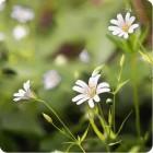 Greater Stitchwort (Stellaria holostea) plug plants