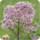 Hemp-agrimony (Eupatorium cannabinum) plug plants