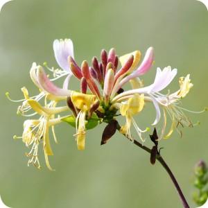 Honeysuckle (Lonicera periclymenum) Root Trainers