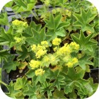 Smooth Lady's-mantle (Alchemilla glabra) 7cm Plant Pot