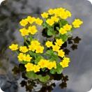 Marsh Marigold (Caltha palustris) plug plants