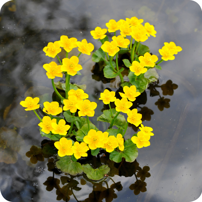 Marsh marigold caltha palustris plug plants for Native aquatic plants for sale
