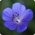 Meadow crane's-bill (Geranium pratense) plug plants