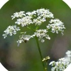Cow Parsley (Anthriscus sylvestris) plug plants
