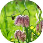 Snakeshead Fritillary (Fritillaria meleagris) IN THE GREEN
