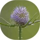 Teasel (Dipsacus fullonum) plug plants