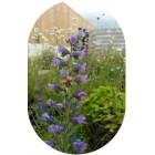 Viper's-bugloss (Echium vulgare) plug plants
