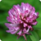 Red Clover (Trifolium pratense) plug plants
