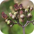 Water Figwort (Scrophularia auriculata) 7cm pots