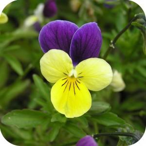 Wild Pansy (Viola tricolor) plug plants