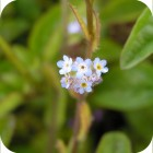 Field Forget-me-not (Myosotis arvensis) plug plants