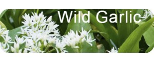Wild Garlic Plants