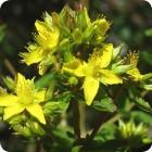 Square-stalked St John's wort (Hypericum tetrapterum) plug plants