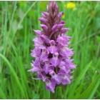 Northern Marsh Orchid (Dactylorhiza purpurella) 7cm pots