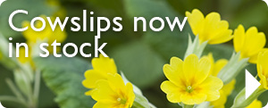Cowslips in stock