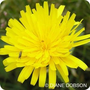 Rough Hawkbit (Leontodon hispidus) plug plants