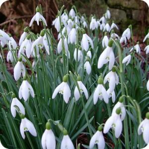 Snowdrop (Galanthus nivalis) bulbs