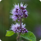 Water Mint (Mentha aquatica) plug plants