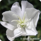 White Campion (Silene latifolia) plug plants