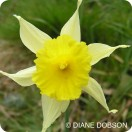 Wild Daffodil	(Narcissus pseudonarcissus) bulbs