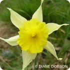 Wild Daffodil	(Narcissus pseudonarcissus) IN THE GREEN
