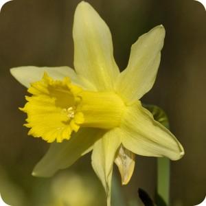 Wild Daffodil(Narcissus pseudonarcissus) bulbs