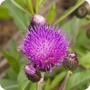 Melancholy Thistle (Cirsium heterophyllum) plug plants
