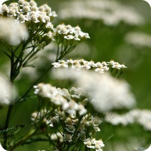 Yarrow (Achillea millefolium) plug plants