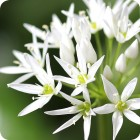 Wild Garlic/Ramsons (Allium ursinum) IN THE GREEN