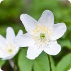 Wood Anemone (Anemone nemorosa) rhizomes