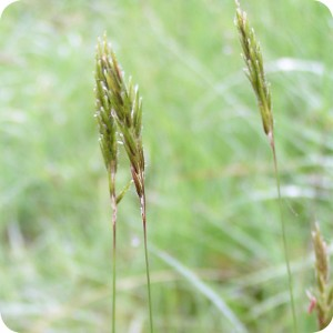 Sweet Vernal-grass (Anthoxanthum odoratum) 1 gram